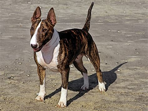 What's the Difference Between the American Staffordshire