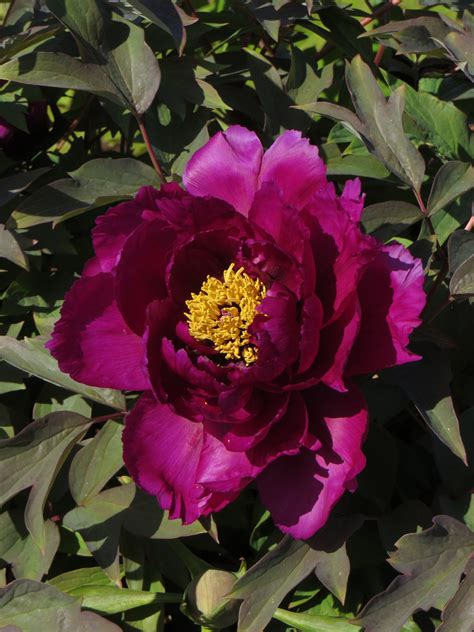 Tree peonies produce beautiful, colorful flowers (if you
