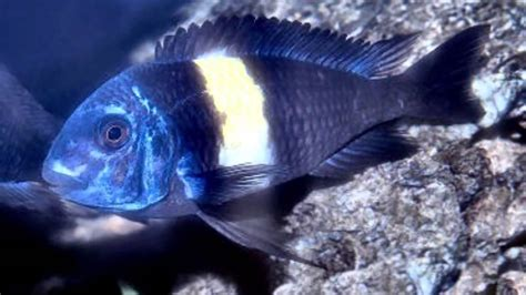 African Cichlids of Lake Tanganyika, Evolved to Find Their