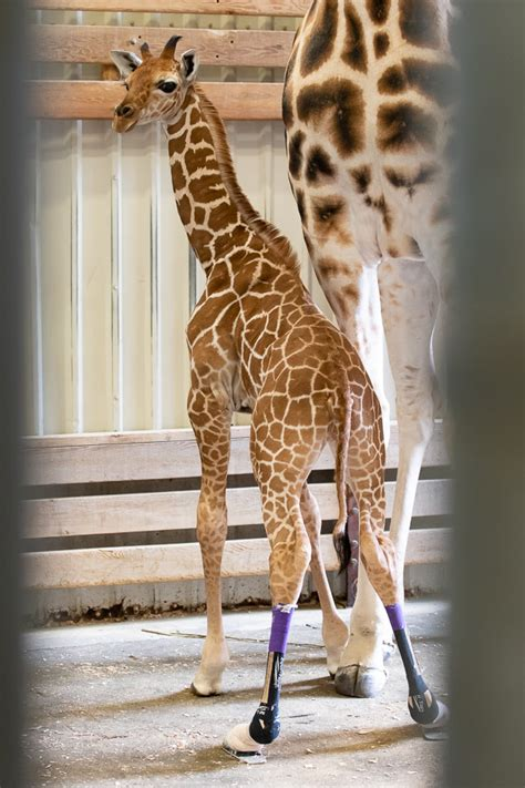 Baby Giraffe Goes Outside And Shows Off New Shoes - ZooBorns